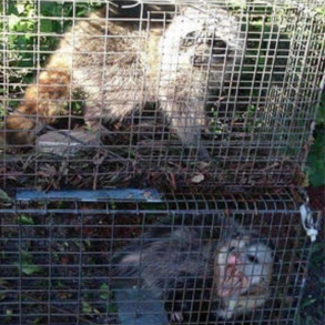 Raccoon and opossum trapping